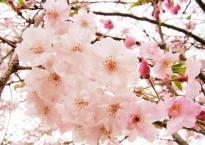 1_sakura-sakura__494_x_370_